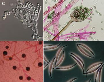 Fig. 4 – Representative fungal species: C. microscopic specimens from ATHUM collection. From upper left (clockwise): Penicillium expansum, Rhizopus oryzae, Fusarium equisetii and Circinella minor (photos kindly provided by Dr. I. Pyrri, University of Athens)