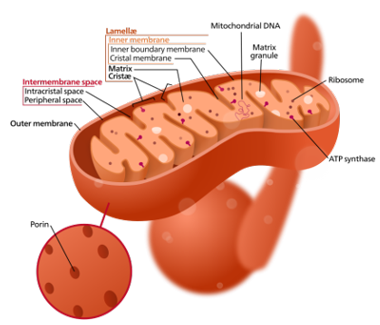 "Fig. 1 – Structure of a typical mitochondrion (Source: <a href=""http://commons.wikimedia.org/wiki/Category:Images"" target=""_blank"">Wikipedia commons</a>)"